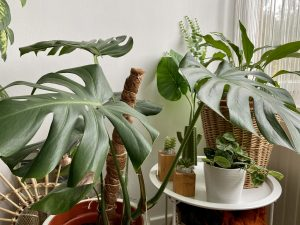 Indoor Plants For Beginners Part 2: Monstera Deliciosa (Swiss Cheese Plant)
