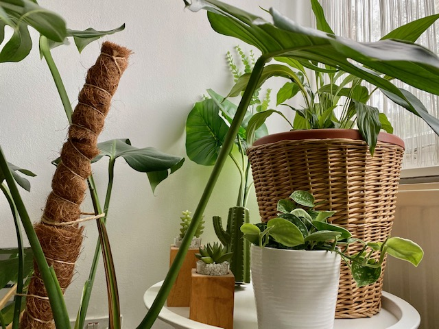 Indoor Plants For Beginners Part 1: Pothos / Devil's Ivy